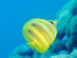 Rainford's Butterflyfish (Chaetodon Rainfordi), Cairns, Queensland, Australia, Pacific Photographic Print by Louise Murray