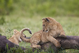 Lion (Panthera Leo) Cubs Playing, Ngorongoro Crater, Tanzania, East Africa, Africa Photographic Print by James Hager