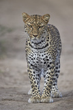 Leopard (Panthera Pardus), Ngorongoro Conservation Area, Serengeti, Tanzania, East Africa, Africa Fotografisk tryk af James Hager