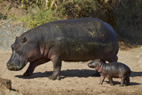 Hippopotamus (Hippopotamus Amphibius) Mother and Baby Out of the Water Fotografisk tryk af James Hager