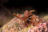 Hinge Beak Shrimp (Hinge Beak Prawn) (Rhynchocinetes Sp.) Emerges to Feed at Night Photographic Print by Louise Murray