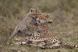 Cheetah (Acinonyx Jubatus) Mother and Cub, Serengeti National Park, Tanzania, East Africa, Africa Photographic Print by James Hager