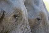 Close-Up of Two African Elephants (Loxodonta Africana) Photographic Print by Sergio Pitamitz