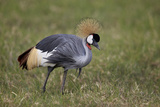 Grey Crowned Crane (Southern Crowned Crane) (Balearica Regulorum) Photographic Print by James Hager