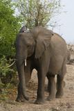 African Elephant (Loxodonta Africana), Chobe National Park, Botswana, Africa Photographic Print by Sergio Pitamitz