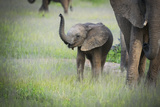 African Elephant (Loxodonta) Mother and Calf, South Luangwa National Park, Zambia, Africa Photographic Print by Janette Hill