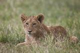 Lion (Panthera Leo) Cubs, Ngorongoro Crater, Tanzania, East Africa, Africa Lámina fotográfica por James Hager