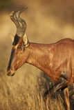 Red Hartebeest (Alcelaphus Buselaphus) Photographic Print by James Hager