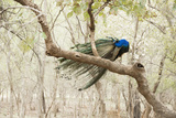Peacock (Indian Peafowl) (Pavo Cristatus), Ranthambhore, Rajasthan, India Photographic Print by Janette Hill