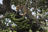 Leopard (Panthera Pardus), Chobe National Park, Botswana, Africa Photographic Print by Sergio Pitamitz