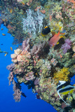 Colourful, Coral Covered Reef Wall at Osprey Reef, Longfin Banner Fish (Heniochus Acuminatus) Photographic Print by Louise Murray