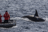 Adult Bull Type a Killer Whale (Orcinus Orca) Surfacing Near Researchers in the Gerlache Strait Photographic Print by Michael Nolan
