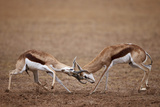 Two Springbok (Antidorcas Marsupialis) Bucks Fighting Photographic Print by James Hager