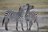 Two Common Zebra (Plains Zebra) (Burchell's Zebra) (Equus Burchelli) Sparring Photographic Print by James Hager