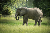 African Elephant (Loxodonta), South Luangwa National Park, Zambia, Africa Photographic Print by Janette Hill