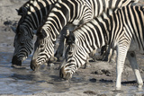 Burchell's Zebras (Equus Burchelli), Khwai Concession, Okavango Delta, Botswana, Africa Photographic Print by Sergio Pitamitz
