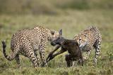 Two Male Cheetah (Acinonyx Jubatus) Killing a New Born Blue Wildebeest (Brindled Gnu) Calf Photographic Print by James Hager