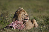 Lion (Panthera Leo) at a Wildebeest Carcass Photographic Print by James Hager