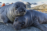 Southern Elephant Seal Pups (Mirounga Leonina), Gold Harbor, South Georgia, Polar Regions Photographic Print by Michael Nolan