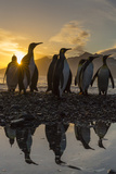 King Penguins (Aptenodytes Patagonicus) at Sunrise, in St. Andrews Bay, South Georgia Fotografisk tryk af Michael Nolan