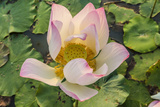 Lotus Flower (Nelumbo Nucifera), Near the Village of Kampong Tralach, Cambodia, Indochina Photographic Print by Michael Nolan