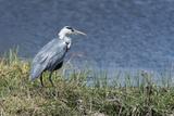 Grey Heron (Ardea Cinerea), Khwai Concession, Okavango Delta, Botswana, Africa Photographic Print by Sergio Pitamitz