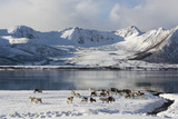 Reindeer (Rangifer Tarandus), Near Fornes, Vesteralen Islands, Arctic, Norway, Scandinavia Photographic Print by Sergio Pitamitz
