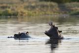 Hippopotamus (Hippopotamus Amphibius), Khwai Concession, Okavango Delta, Botswana, Africa Photographic Print by Sergio Pitamitz