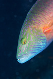 Cheek-Lined Wrasse (Oxycheilinus Digramma), Matangi Island, Vanua Levu, Fiji, Pacific Photographic Print by Louise Murray