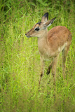 Female Impala (Aepyceros Melampus), South Luangwa National Park, Zambia, Africa Photographic Print by Janette Hill