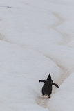 Gentoo Penguin (Pygoscelis Papua) Climbing Penguin Highway on Cuverville Island, Antarctica Photographic Print by Michael Nolan