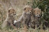Three Cheetah (Acinonyx Jubatus) Cubs About a Month Old Photographic Print by James Hager