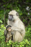 Mother and Baby Yellow Baboon (Papio Cynocephalus), South Luangwa National Park, Zambia, Africa Photographic Print by Janette Hill