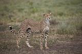 Cheetah (Acinonyx Jubatus), Serengeti National Park, Tanzania, East Africa, Africa Photographic Print by James Hager