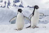 Adelie Penguin (Pygoscelis Adeliae) Pair, at Brown Bluff, Antarctica, Southern Ocean, Polar Regions Photographic Print by Michael Nolan