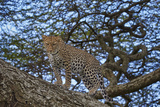 Leopard (Panthera Pardus) in a Tree Photographic Print by James Hager