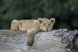 Lion (Panthera Leo) Cub on a Downed Tree Trunk, Ngorongoro Crater, Tanzania, East Africa, Africa Photographic Print by James Hager
