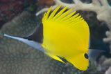 Longnose Butterflyfish (Forcipiger Flavissimus) Photographic Print by Louise Murray