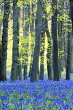 Ancient Bluebell Woodland in Spring Photographic Print by Alex Robinson