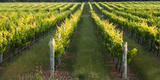 Rows of Grape Vines, Winery, Margaret River, Western Australia, Australia, Pacific Photographic Print by Lynn Gail