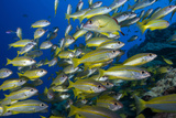 Schooling Yellow-Striped Goatfish (Mulloidichthys Vanicolensis). Great Barrier Reef Photographic Print by Louise Murray