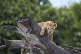 Lion (Panthera Leo) Cub on a Downed Tree Trunk in the Rain Photographic Print by James Hager