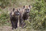 Two Spotted Hyena (Spotted Hyaena) (Crocuta Crocuta) Pups Photographic Print by James Hager
