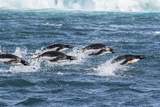 Adelie Penguins (Pygoscelis Adeliae) Porpoising at Sea at Brown Bluff, Antarctica, Southern Ocean Photographic Print by Michael Nolan