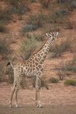 Cape Giraffe (Giraffa Camelopardalis Giraffa) Photographic Print by James Hager