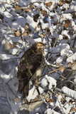 Red-Tailed Hawk (Buteo Jamaicensis) Juvenile in a Snow-Covered Tree Photographic Print by James Hager