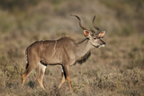 Greater Kudu (Tragelaphus Strepsiceros) Buck, Karoo National Park, South Africa, Africa Photographic Print by James Hager