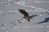 Juvenile Golden Eagle (Aquila Chrysaetos) in Flight over Snow in the Winter Photographic Print by James Hager
