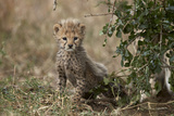 Cheetah (Acinonyx Jubatus) Cub About a Month Old Photographic Print by James Hager