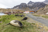 Southern Elephant Seal Pups (Mirounga Leonina) after Weaning in Grytviken Harbor, South Georgia Photographic Print by Michael Nolan